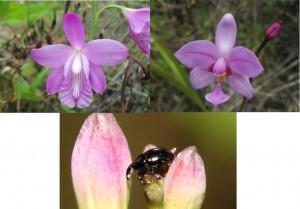 'Bletia patula' (izquierda, nativa), el escarabajo 'Stethobaris polita' y 'Spathoglottis plicata' (derecha, exótica)