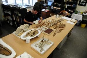 Jorge trabajando con vacas marinas fósiles en Washington, DC